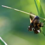 fliegenpaar01fin1