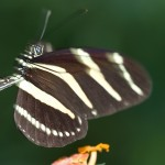 schmetterling11fin1
