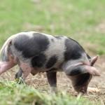schwein03fin1