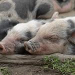 schweinchen11fin1